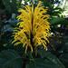 Cola de Zorra Amarilla - Photo (c) travelling_botanist, todos los derechos reservados