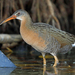 Ridgway's Rail - Photo (c) Nigel Voaden, all rights reserved