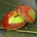 Paropsisterna pictipes - Photo (c) Martin Lagerwey EntSocVic, όλα τα δικαιώματα διατηρούνται