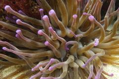 Condylactis gigantea image