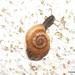 Xerotricha apicina - Photo (c) Francisco Barros, todos los derechos reservados