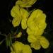 Oenothera glazioviana - Photo (c) Fulda Bol, כל הזכויות שמורות