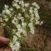 Stevia serrata arguta - Photo (c) guadalupe_cornejo_tenorio, todos los derechos reservados