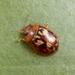 Peltoschema delicatulum - Photo (c) Martin Lagerwey, todos los derechos reservados