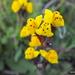 Linaria amethystea multipunctata - Photo (c) Francisco Barros, todos los derechos reservados