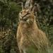 Caracal caracal caracal - Photo (c) iferre, todos los derechos reservados