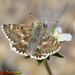 Sage Skipper - Photo (c) Valter Jacinto, all rights reserved