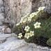 Saxifraga squarrosa - Photo (c) mcandrea, todos los derechos reservados