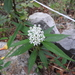 Arizona Milkweed - Photo (c) arturoc, all rights reserved