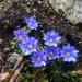 Gentiana arisanensis - Photo (c) kunde lin, todos los derechos reservados