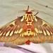 Splendid Royal Moth - Photo (c) Jay Keller, all rights reserved, uploaded by Jay L. Keller