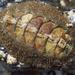 Mopalia kennerleyi - Photo (c) Wendy Feltham, todos los derechos reservados
