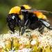 Bombus hortulanus - Photo (c) Daniel Vélez, todos los derechos reservados
