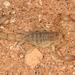 Chihuahuanus - Photo (c) Chris Benesh, todos los derechos reservados
