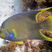 Blue Angelfish - Photo (c) Christian Amador Da Silva, all rights reserved