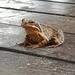 European Common Frog - Photo (c) Kestutis Zaleckis, all rights reserved