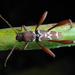 Neoclytus augusti - Photo (c) Alfredo Dorantes Euan, todos los derechos reservados