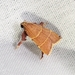 Ochre Parachma Moth - Photo (c) Kimberlie Sasan, all rights reserved