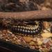 Pachydesmus crassicutis - Photo (c) Wesley Neely, כל הזכויות שמורות