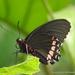 Mariposa Corazón Variable - Photo (c) Juan Carlos Garcia Morales, todos los derechos reservados