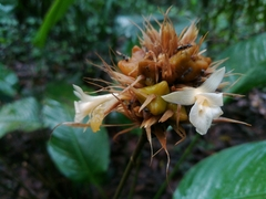 Image of Calathea altissima