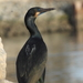 Brandt's Cormorant - Photo (c) rjadams55, all rights reserved, uploaded by R.J. Adams