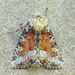 Bridgham's Brocade Moth - Photo (c) Michael H. King, all rights reserved, uploaded by mhking