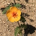 Arizona Poppy - Photo (c) Judd Patterson, all rights reserved