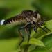 Promachus yesonicus - Photo (c) Pauline Catling, όλα τα δικαιώματα διατηρούνται