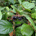 Salal - Photo (c) Paul Larson, all rights reserved
