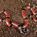 Coralillo Centroamericana - Photo (c) stephenfalick, todos los derechos reservados