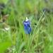 Utricularia albocaerulea - Photo (c) Chandan Pandey, כל הזכויות שמורות