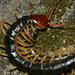 Scolopendra mutilans - Photo (c) Taewoo Kim, todos los derechos reservados