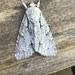 Dagger Moths - Photo (c) gernotkunz, all rights reserved