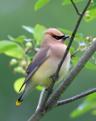Cedar Waxwing - Photo (c) ltoth, all rights reserved