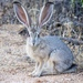 Black-tailed Jackrabbit - Photo (c) Ian Carlson, all rights reserved