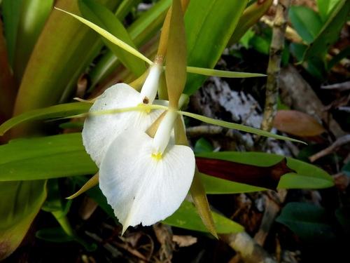Epidendrum eburneum image