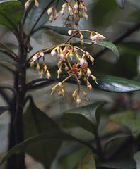 Image of Ardisia pleurobotrya