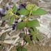 Florida Hammock Sandmat - Photo (c) Jay L. Keller, all rights reserved