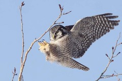 Northern Hawk Owl - Photo (c) Christian Artuso, all rights reserved