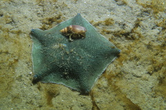 New Zealand Common Cushion Star - Photo (c) Alan, all rights reserved