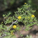 Whitethorn Acacia - Photo (c) Jay Keller, all rights reserved, uploaded by Jay L. Keller