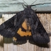 Sweetfern Underwing Moth - Photo (c) Scott King, some rights reserved (CC BY-NC)