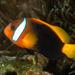 Amphiprion melanopus - Photo (c) Ian Shaw, todos los derechos reservados