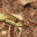 Italian Aesculapian Snake - Photo (c) Simone Costa, all rights reserved