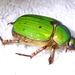 Chrysina lecontei - Photo (c) Jay Keller, todos los derechos reservados, uploaded by Jay L. Keller