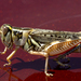 Flabellate Grasshopper - Photo (c) Richard Bunn, all rights reserved