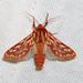 Lophocampa roseata - Photo (c) iain_reid, todos los derechos reservados, uploaded by iain_reid