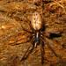 Segestriidae - Photo (c) lacey underall, kaikki oikeudet pidätetään