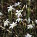 Narcissus serotinus - Photo (c) mjcorreia, todos los derechos reservados